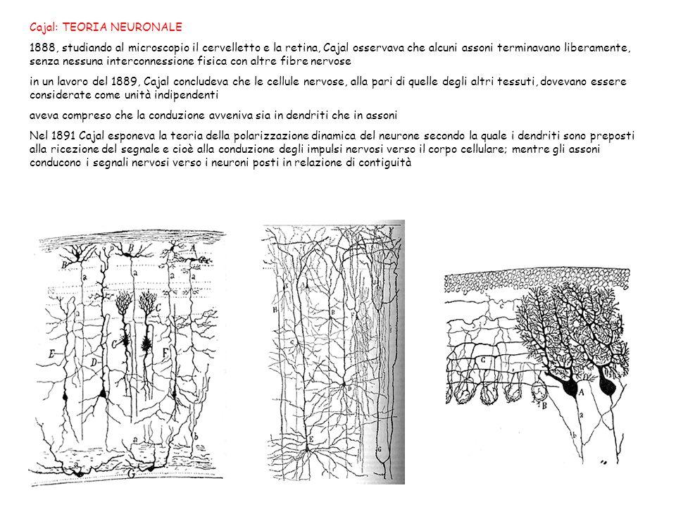 Cajal: TEORIA NEURONALE