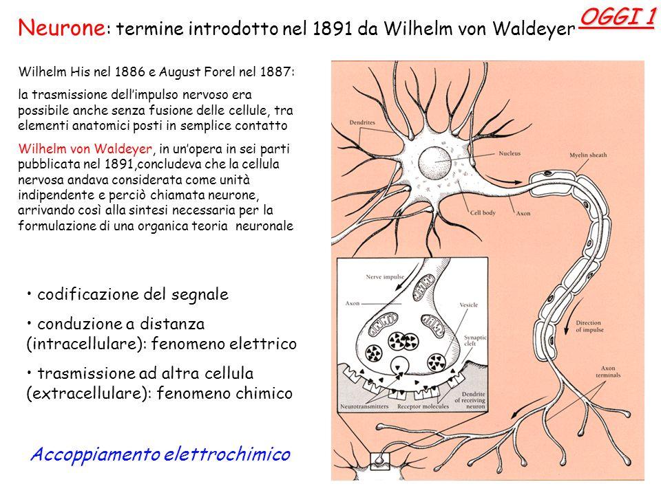 Neurone: termine introdotto nel 1891 da Wilhelm von Waldeyer OGGI 1