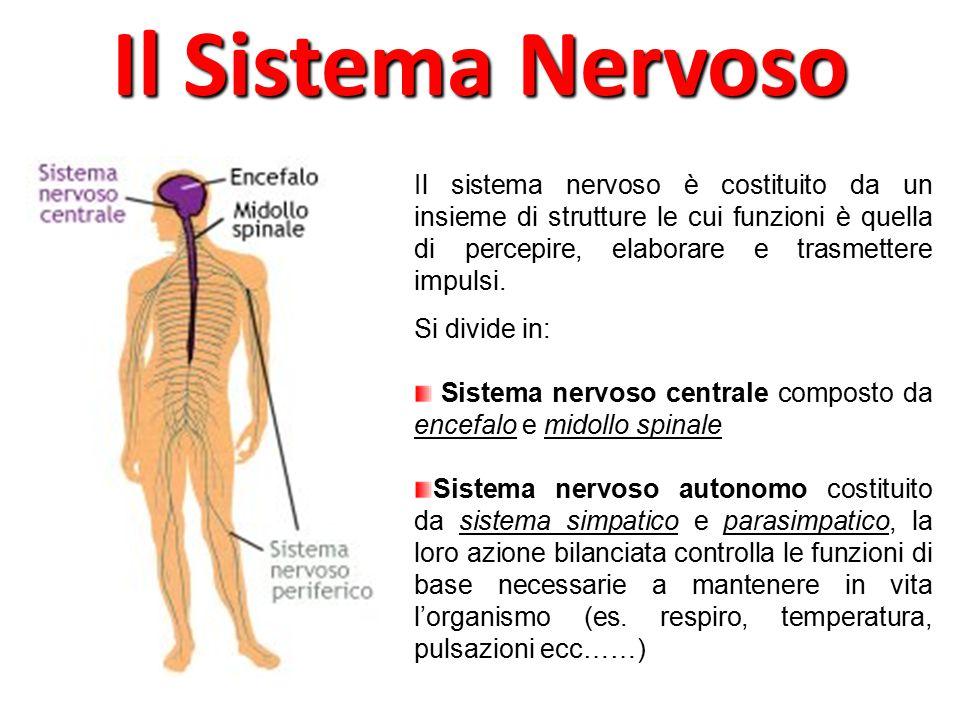Il Sistema Nervoso Il sistema nervoso è costituito da un insieme di strutture le cui funzioni è quella di percepire, elaborare e trasmettere impulsi.