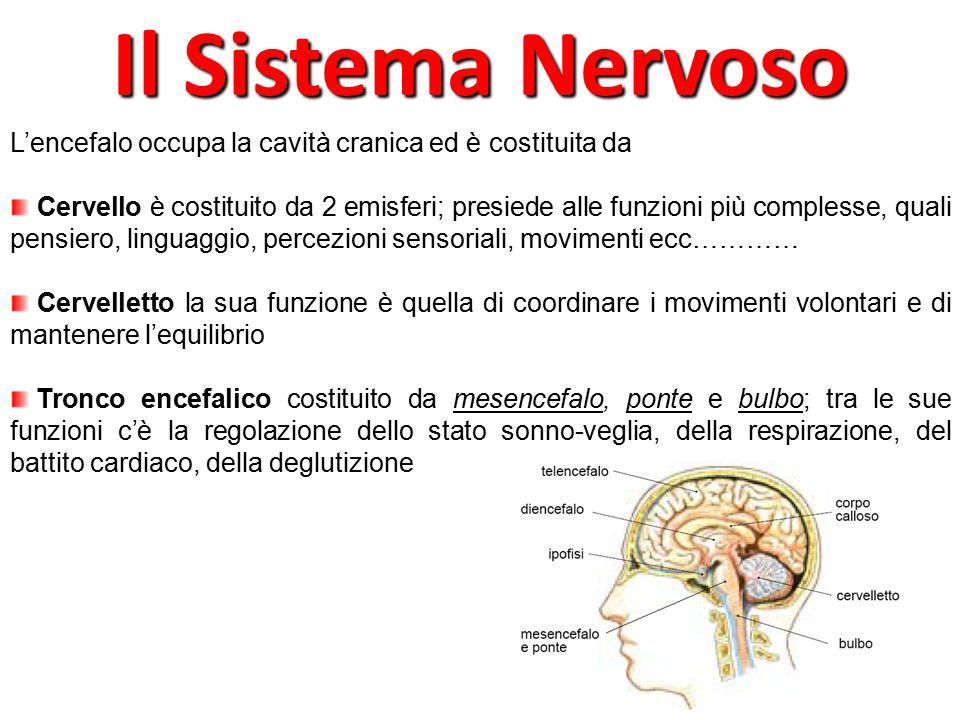 Il Sistema Nervoso L'encefalo occupa la cavità cranica ed è costituita da.
