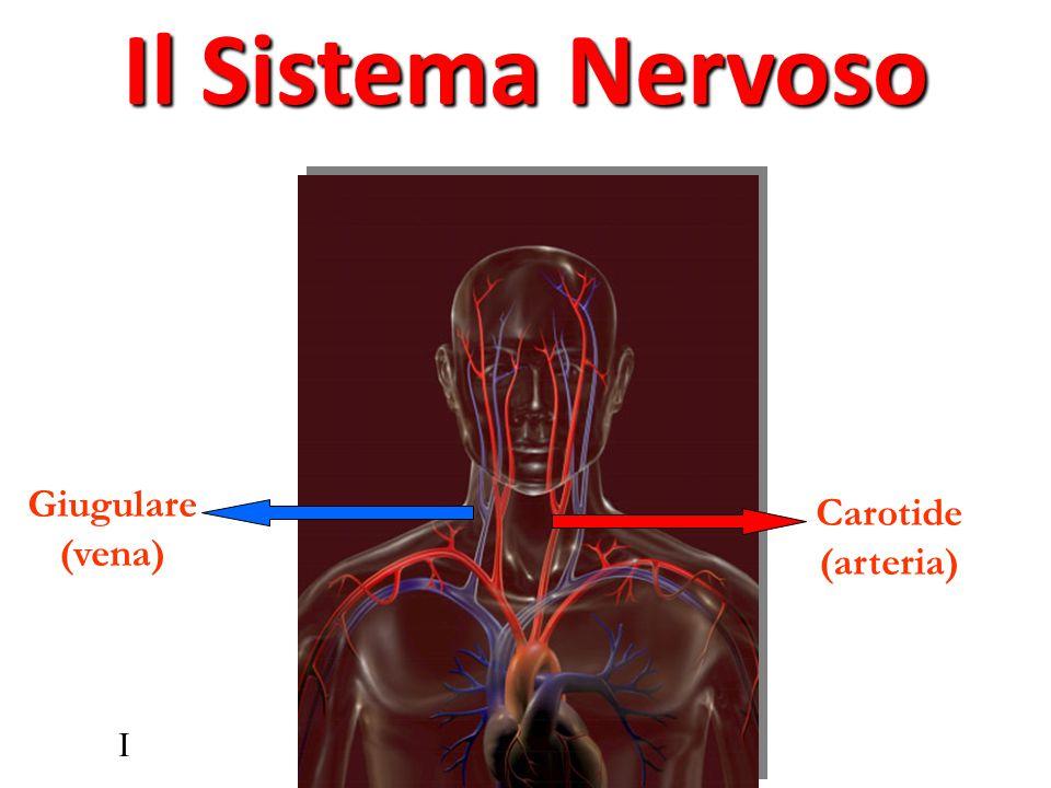 Il Sistema Nervoso Giugulare (vena) Carotide (arteria) I