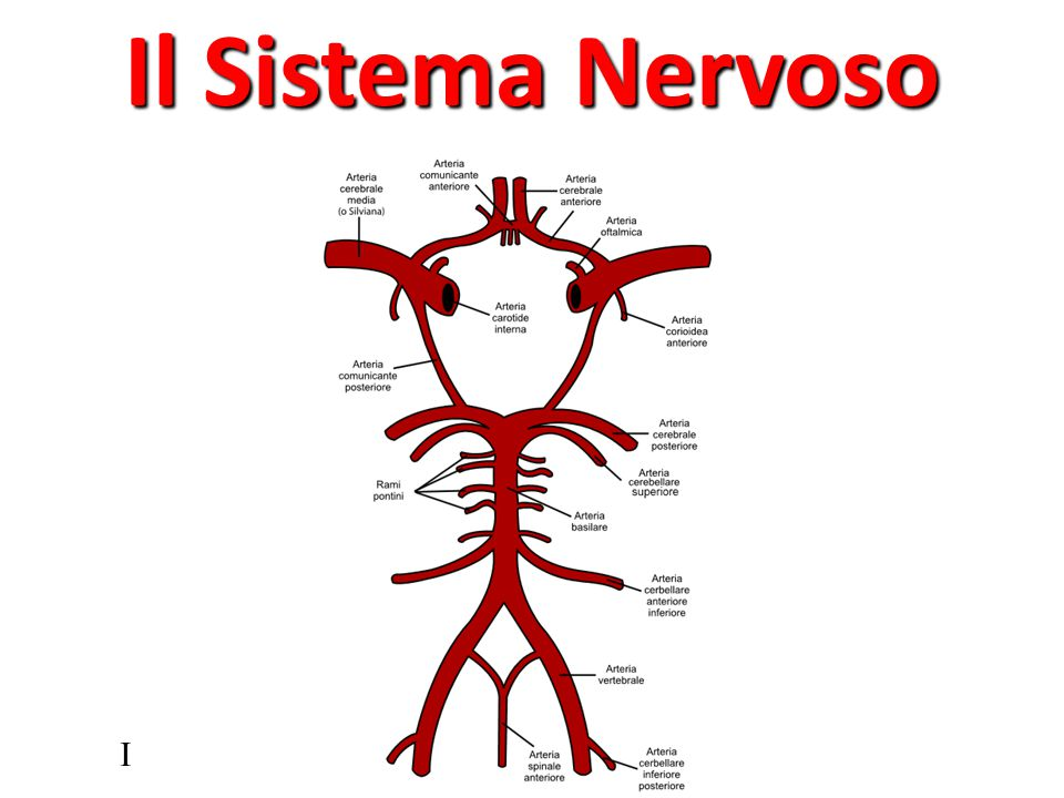 Il Sistema Nervoso I