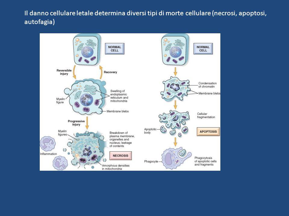 Il danno cellulare letale determina diversi tipi di morte cellulare (necrosi, apoptosi,