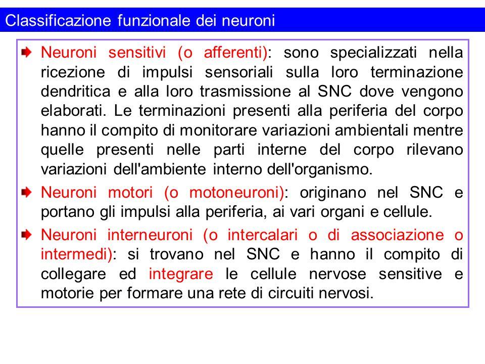Classificazione funzionale dei neuroni
