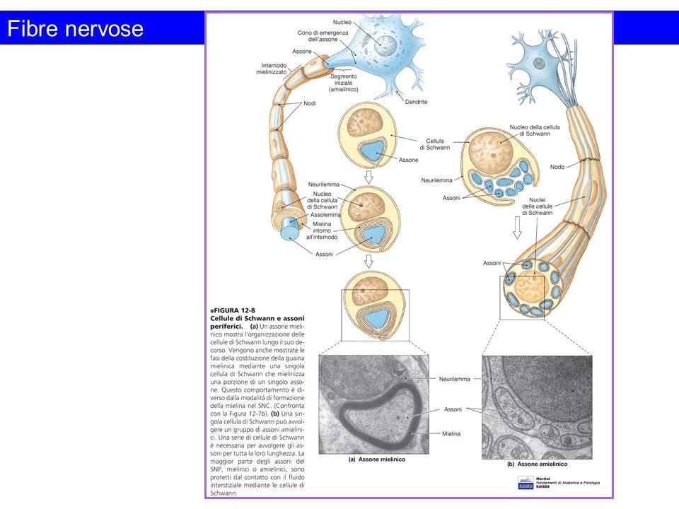 Fibre nervose Figura da: Fondamenti di Anatomia e Fisiologia. Martini. Edizioni EdiSES
