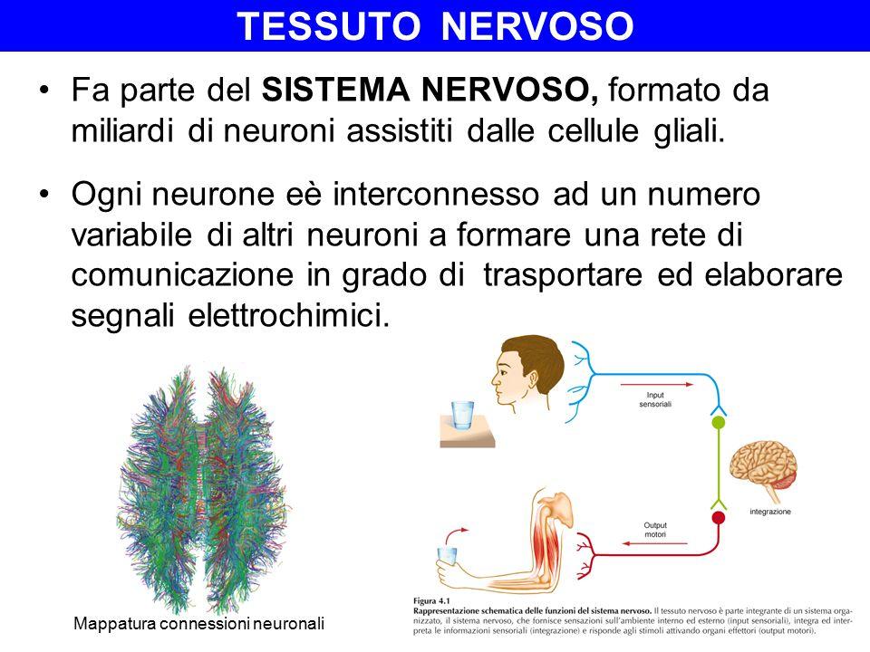 Tessuto NERVOSO Fa parte del SISTEMA NERVOSO, formato da miliardi di neuroni assistiti dalle cellule gliali.