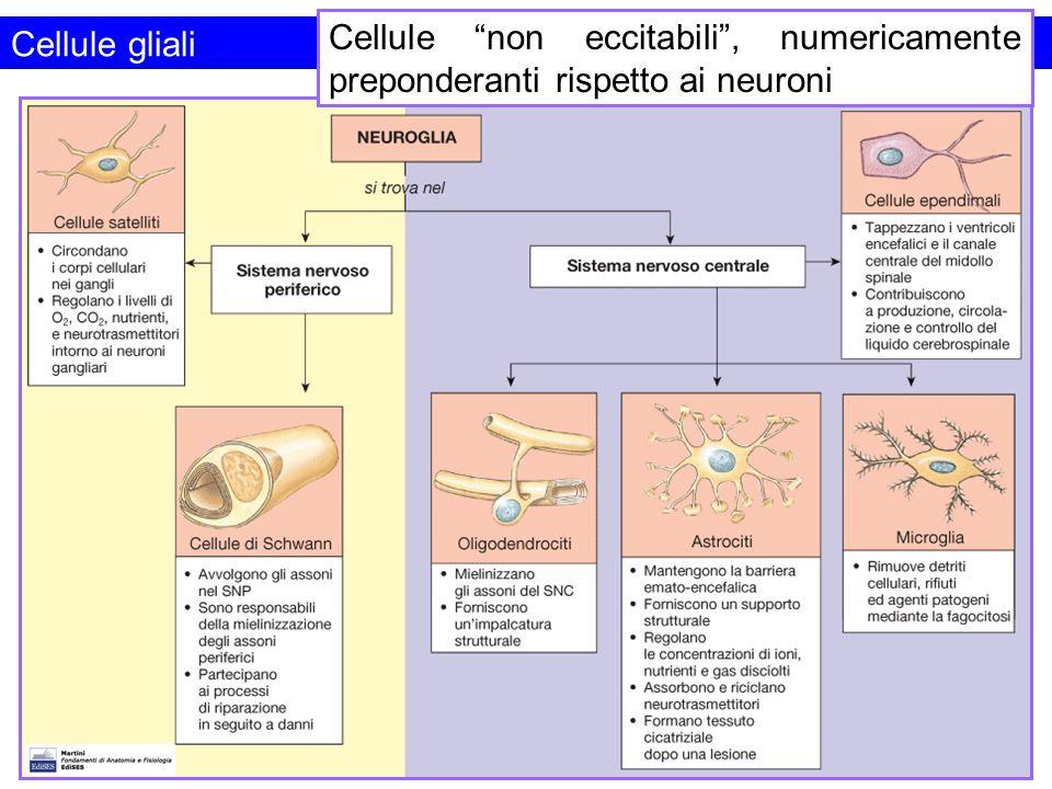 Cellule non eccitabili , numericamente preponderanti rispetto ai neuroni