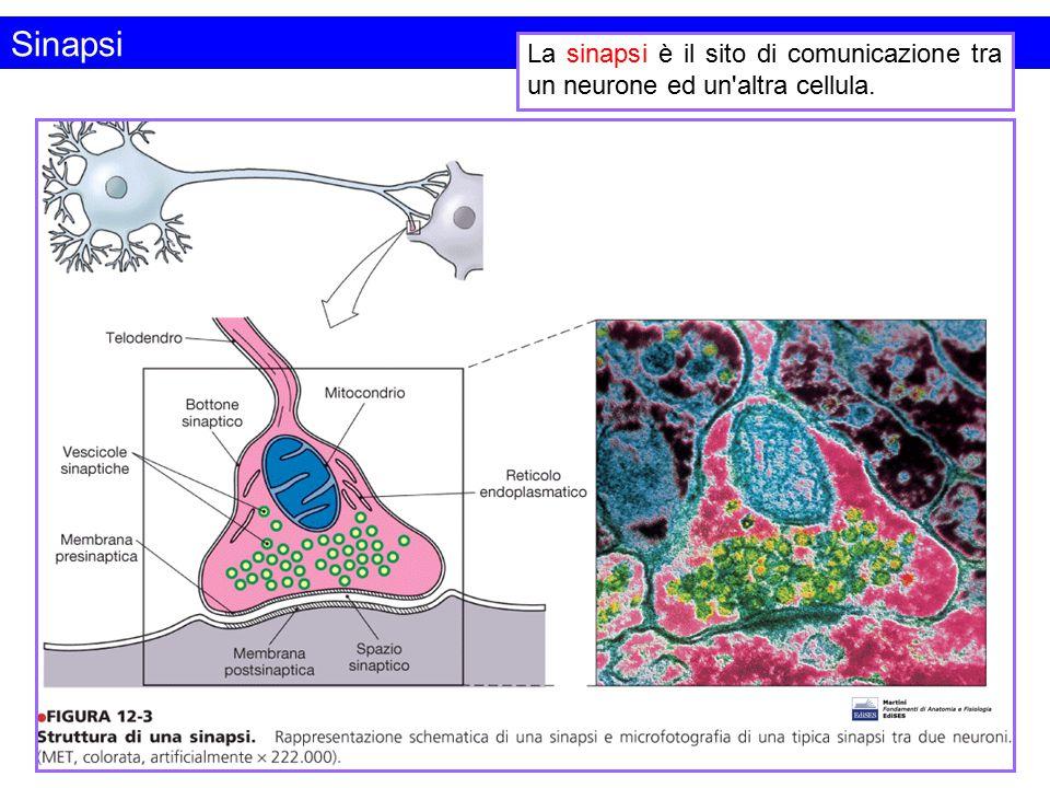 Sinapsi La sinapsi è il sito di comunicazione tra un neurone ed un altra cellula.