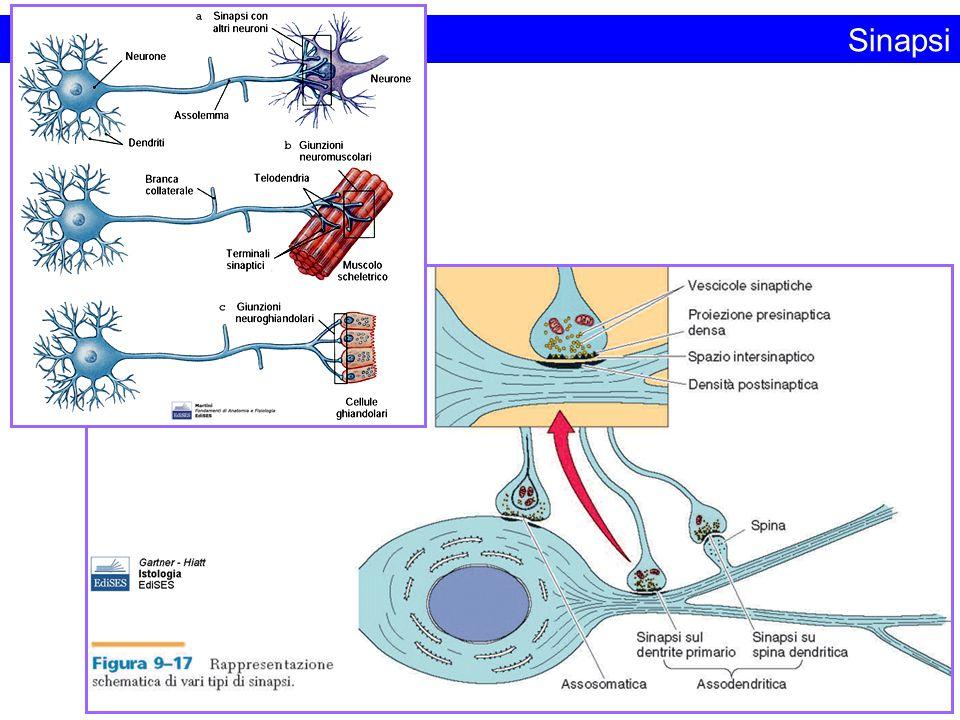 Sinapsi Figura da: Fondamenti di Anatomia e Fisiologia.