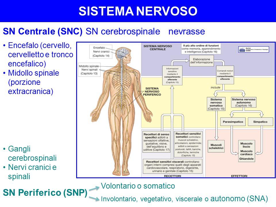 SISTEMA NERVOSO SN Centrale (SNC) SN cerebrospinale nevrasse