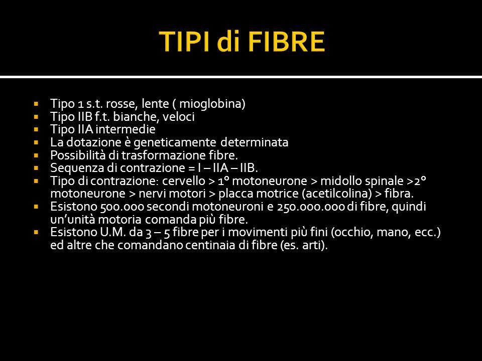 TIPI di FIBRE Tipo 1 s.t. rosse, lente ( mioglobina)