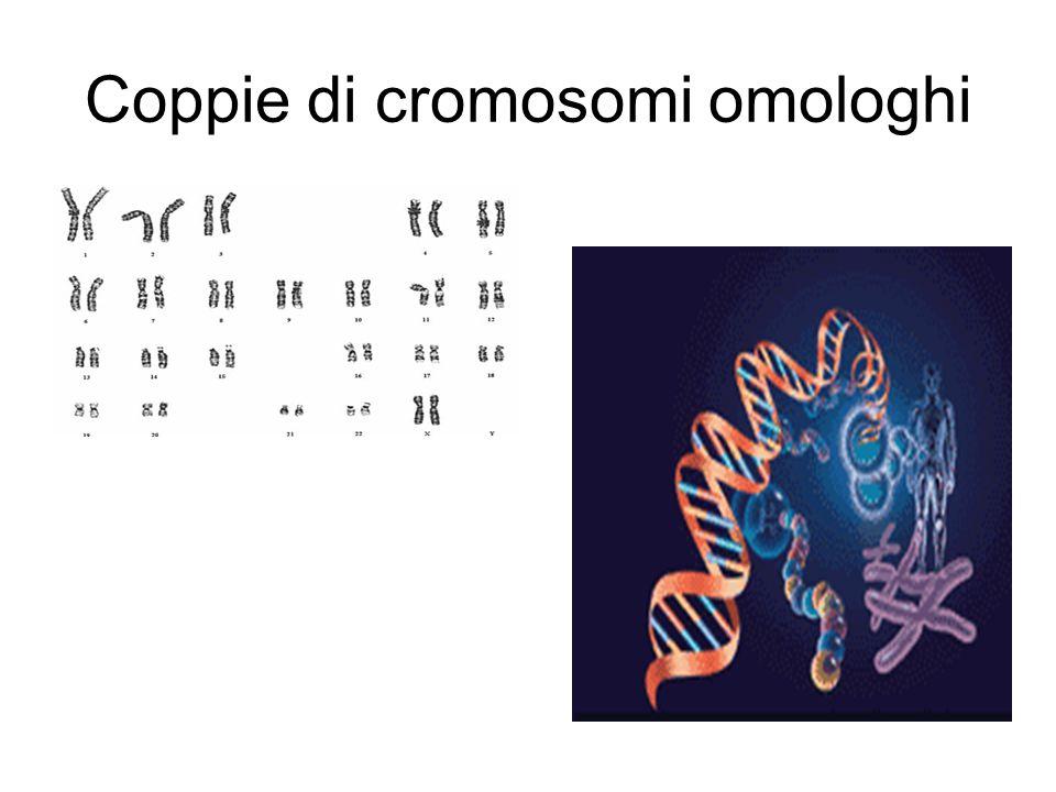 Coppie di cromosomi omologhi