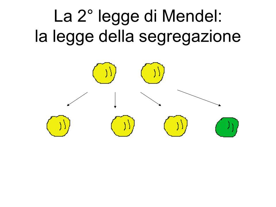 La 2° legge di Mendel: la legge della segregazione