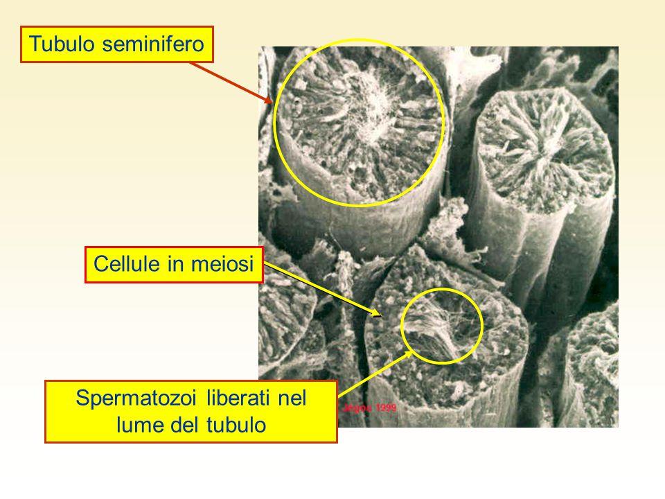 Spermatozoi liberati nel lume del tubulo