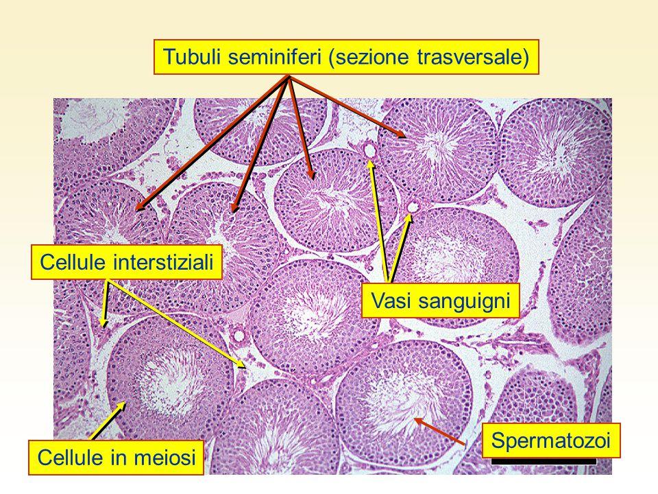 Tubuli seminiferi (sezione trasversale)
