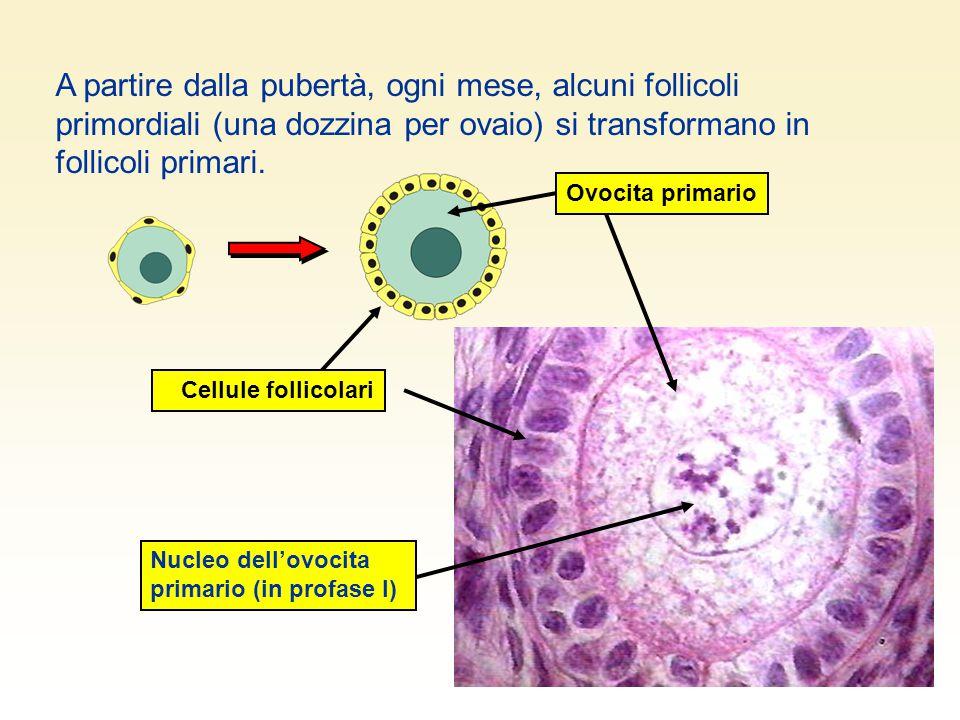 A partire dalla pubertà, ogni mese, alcuni follicoli primordiali (una dozzina per ovaio) si transformano in follicoli primari.