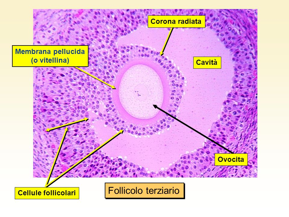 Membrana pellucida (o vitellina)