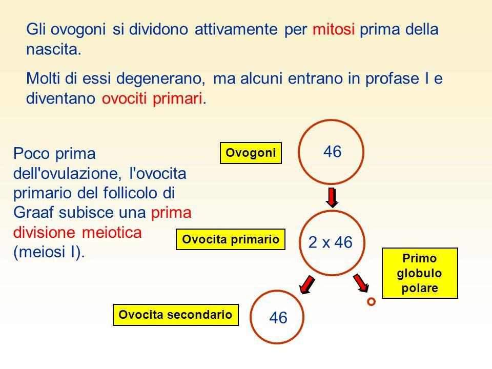 Gli ovogoni si dividono attivamente per mitosi prima della nascita.