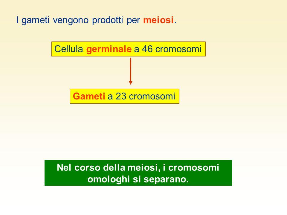 Nel corso della meiosi, i cromosomi omologhi si separano.