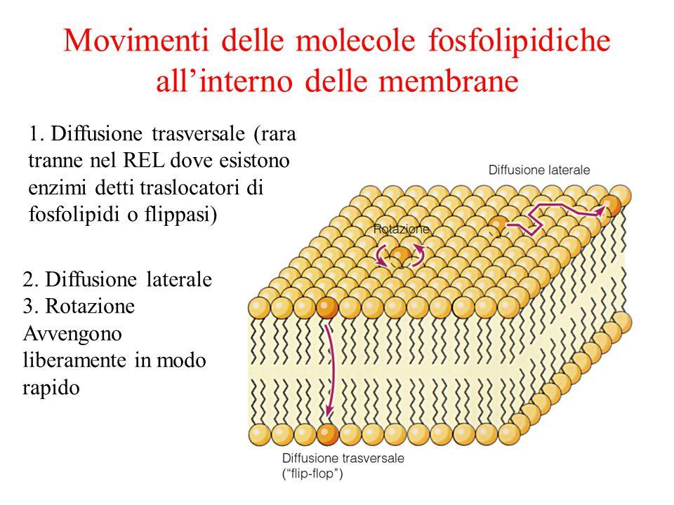 Movimenti delle molecole fosfolipidiche all'interno delle membrane