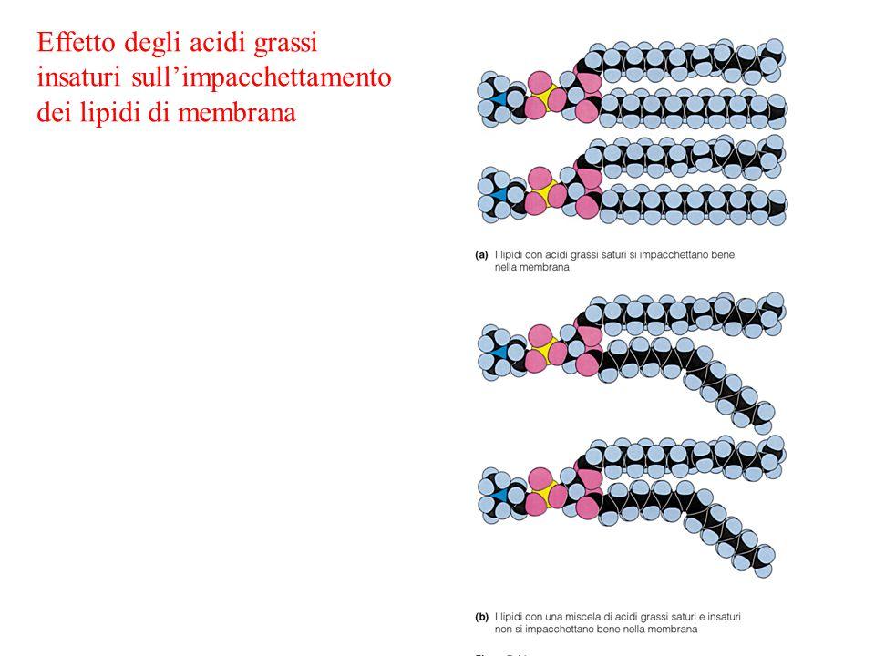 Effetto degli acidi grassi insaturi sull'impacchettamento dei lipidi di membrana