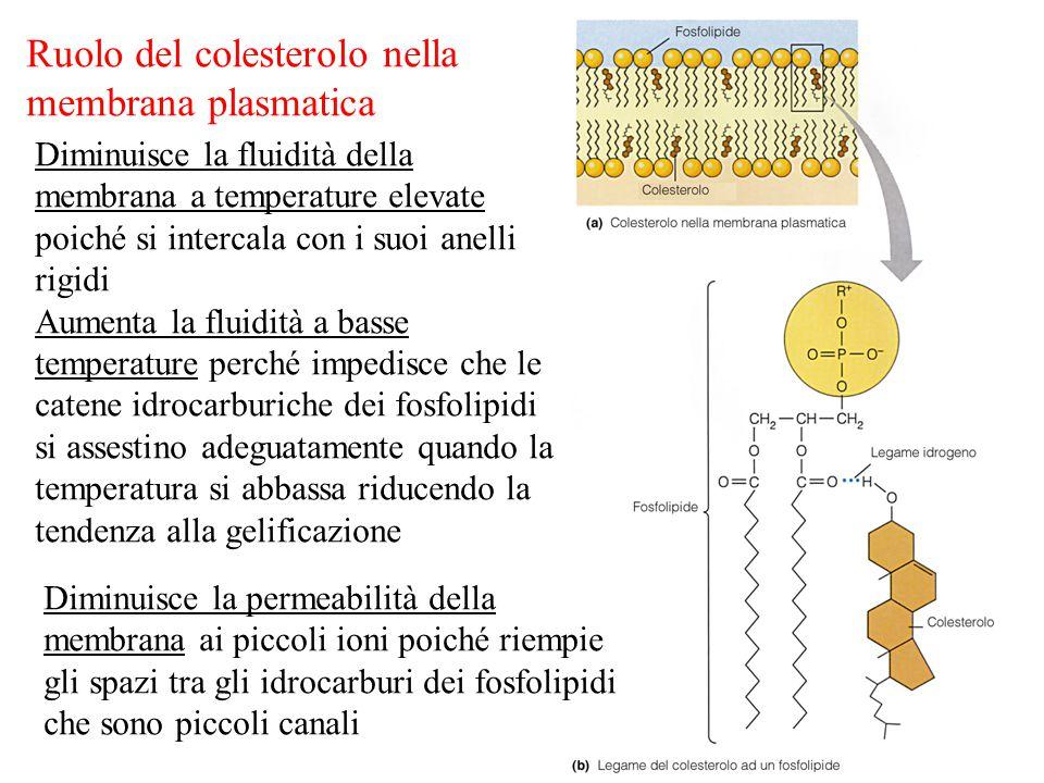 Ruolo del colesterolo nella membrana plasmatica