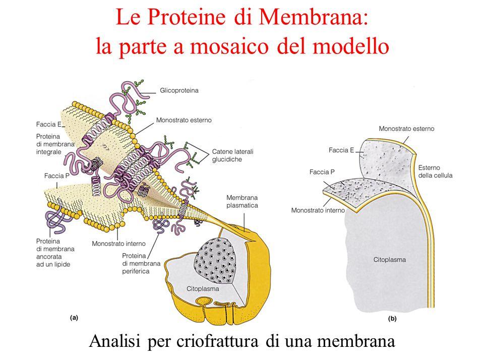 Le Proteine di Membrana: la parte a mosaico del modello