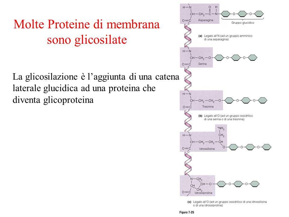 Molte Proteine di membrana sono glicosilate