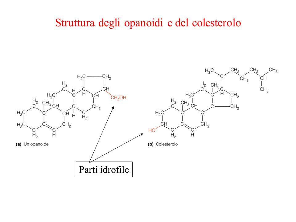 Struttura degli opanoidi e del colesterolo