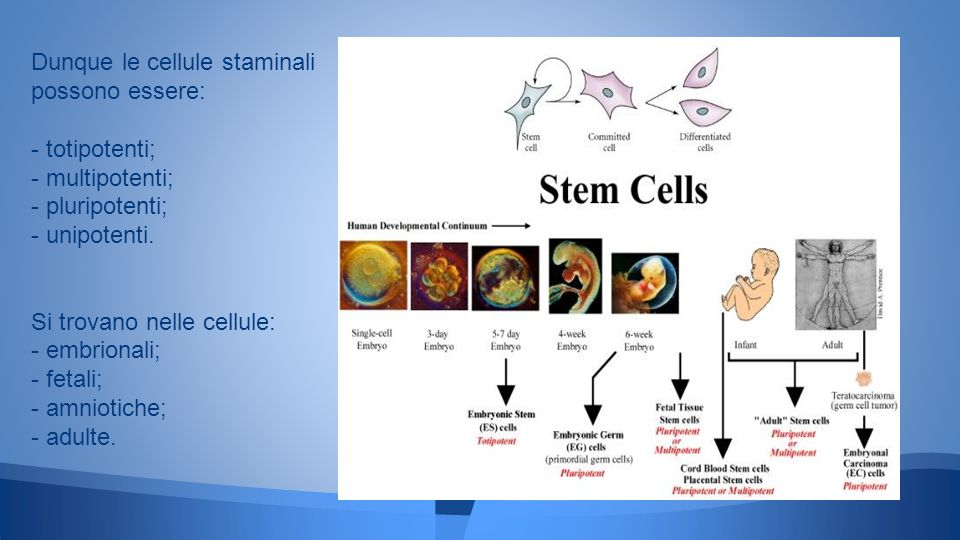 Dunque le cellule staminali possono essere: