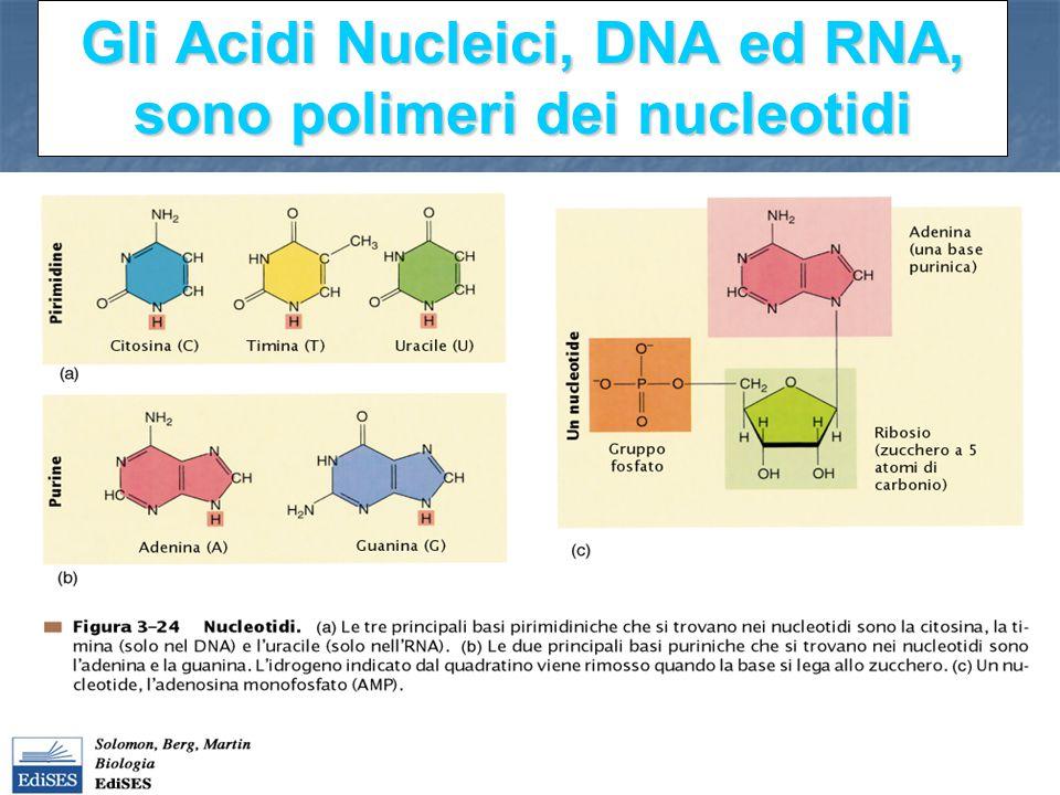 Gli Acidi Nucleici, DNA ed RNA, sono polimeri dei nucleotidi