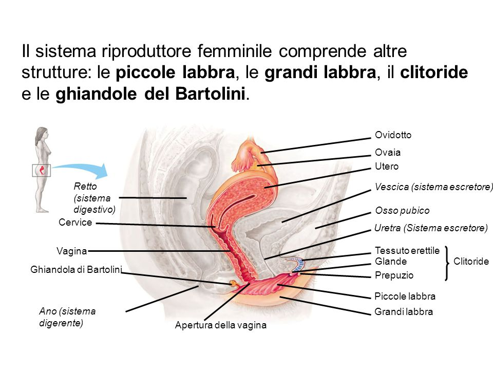 Il sistema riproduttore femminile comprende altre strutture: le piccole labbra, le grandi labbra, il clitoride e le ghiandole del Bartolini.