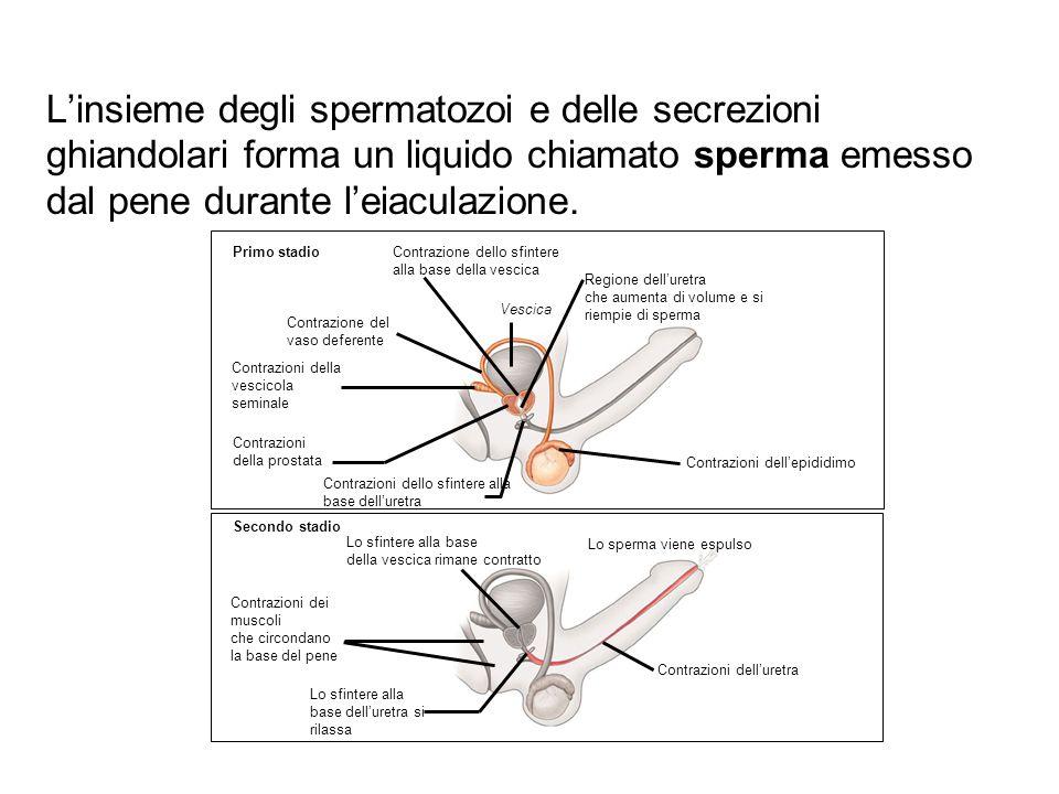 L'insieme degli spermatozoi e delle secrezioni ghiandolari forma un liquido chiamato sperma emesso dal pene durante l'eiaculazione.