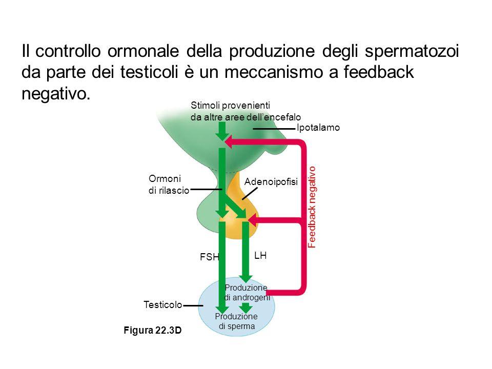 Il controllo ormonale della produzione degli spermatozoi da parte dei testicoli è un meccanismo a feedback negativo.