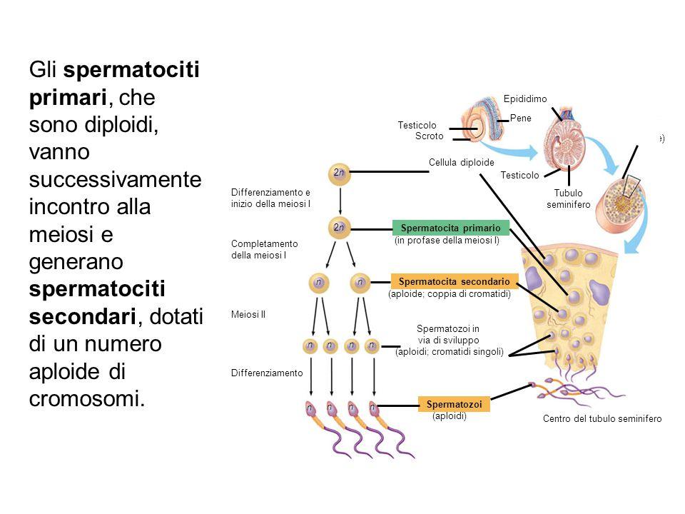 Spermatocita primario Spermatocita secondario