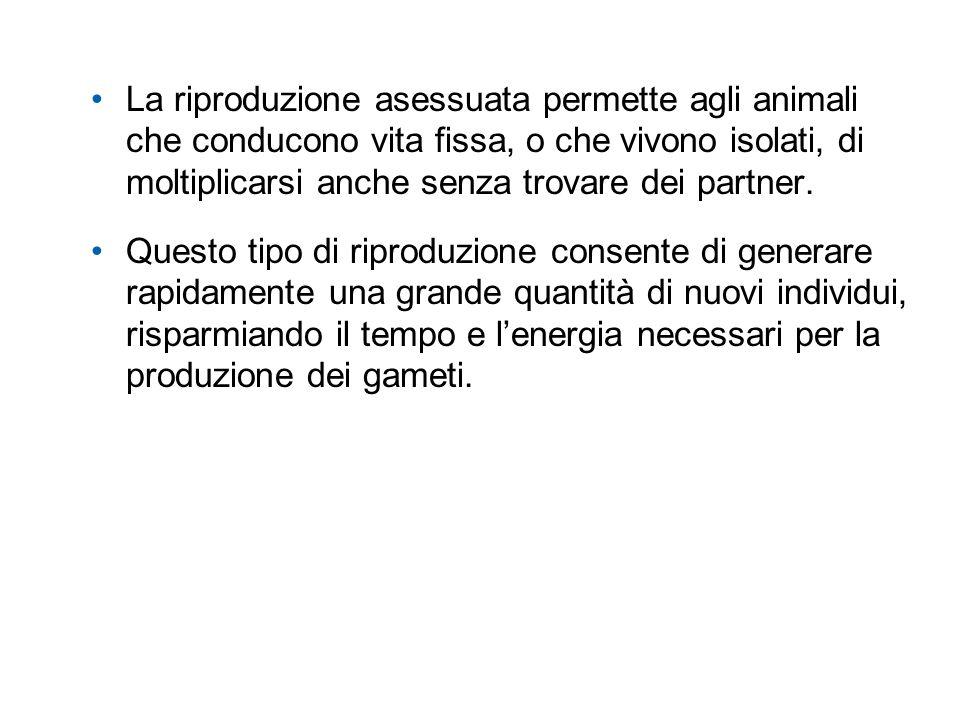 La riproduzione asessuata permette agli animali che conducono vita fissa, o che vivono isolati, di moltiplicarsi anche senza trovare dei partner.