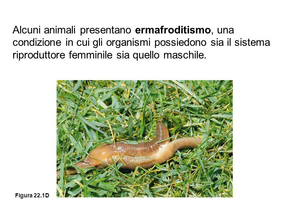 Alcuni animali presentano ermafroditismo, una condizione in cui gli organismi possiedono sia il sistema riproduttore femminile sia quello maschile.
