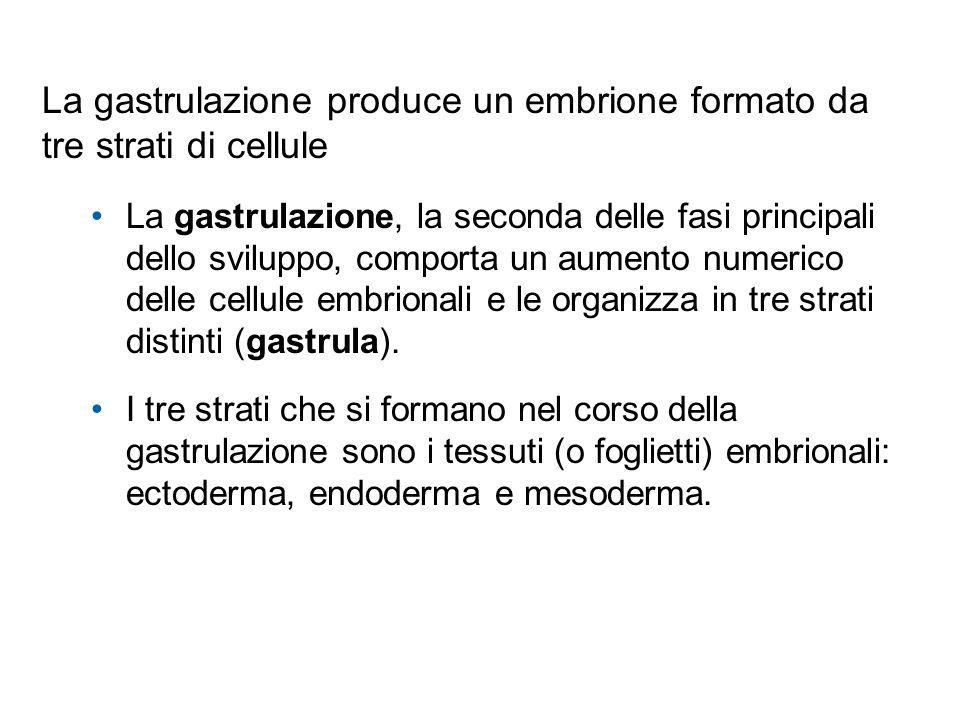 La gastrulazione produce un embrione formato da tre strati di cellule