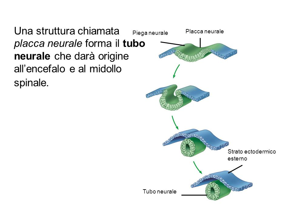 Una struttura chiamata placca neurale forma il tubo neurale che darà origine all'encefalo e al midollo spinale.