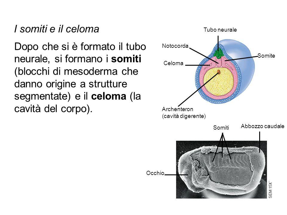 I somiti e il celoma Tubo neurale.