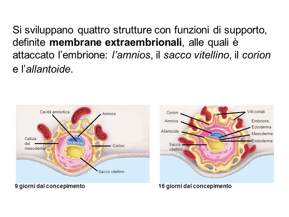Si sviluppano quattro strutture con funzioni di supporto, definite membrane extraembrionali, alle quali è attaccato l'embrione: l'amnios, il sacco vitellino, il corion e l'allantoide.