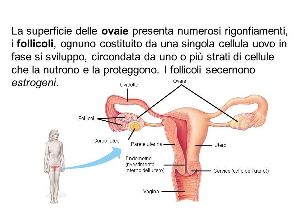 La superficie delle ovaie presenta numerosi rigonfiamenti, i follicoli, ognuno costituito da una singola cellula uovo in fase si sviluppo, circondata da uno o più strati di cellule che la nutrono e la proteggono. I follicoli secernono estrogeni.