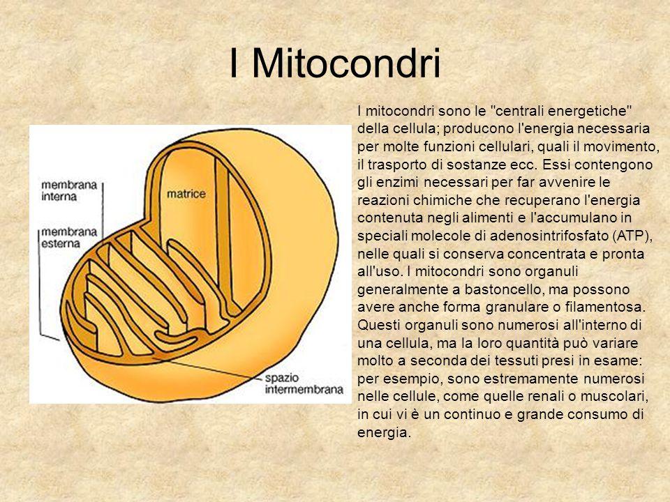 I Mitocondri
