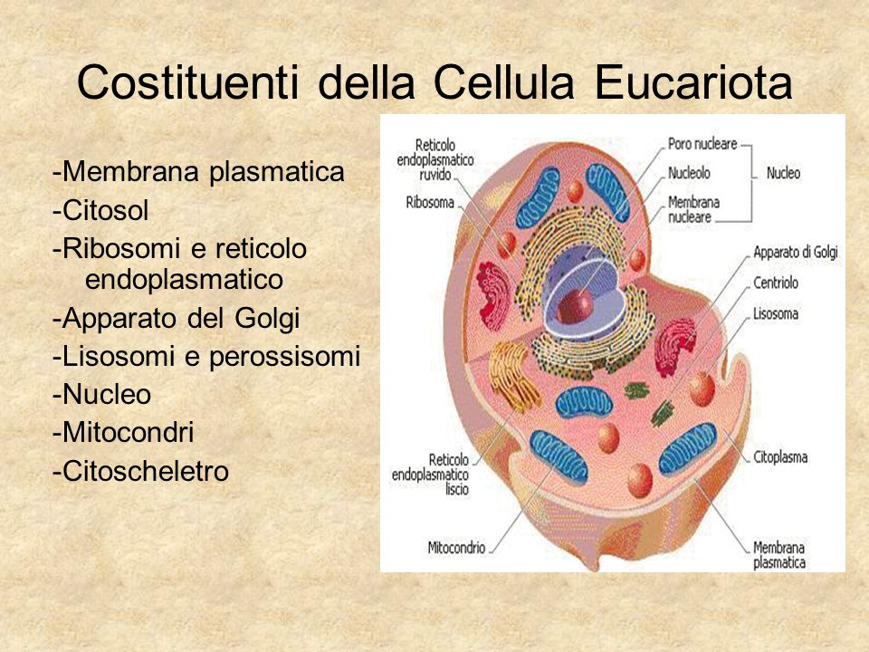 Costituenti della Cellula Eucariota