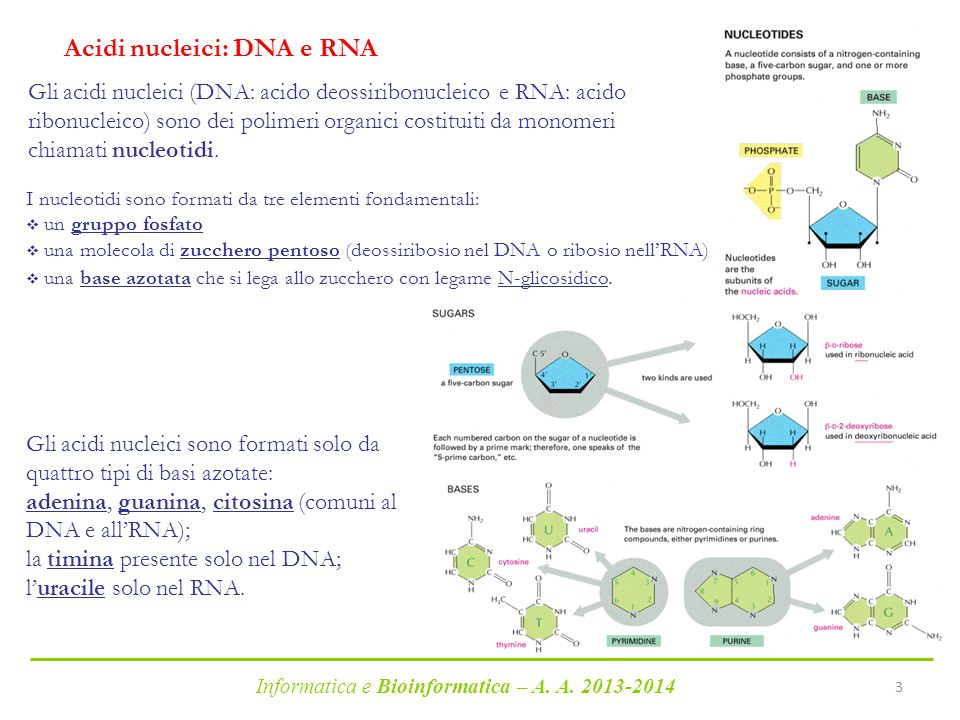 Acidi nucleici: DNA e RNA
