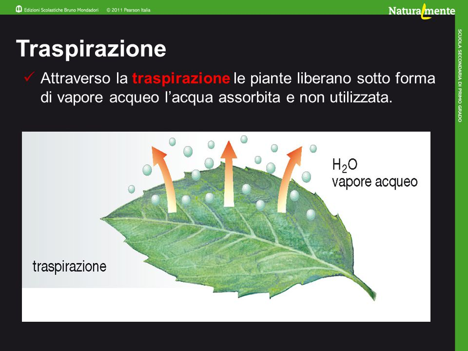 Traspirazione Attraverso la traspirazione le piante liberano sotto forma di vapore acqueo l'acqua assorbita e non utilizzata.
