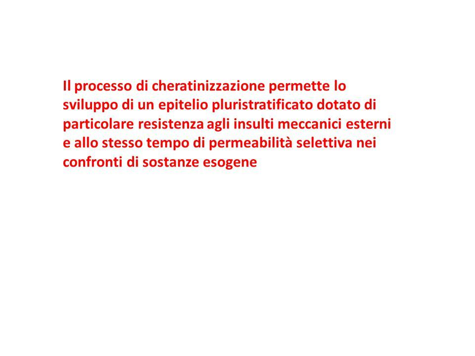 Il processo di cheratinizzazione permette lo sviluppo di un epitelio pluristratificato dotato di particolare resistenza agli insulti meccanici esterni e allo stesso tempo di permeabilità selettiva nei confronti di sostanze esogene