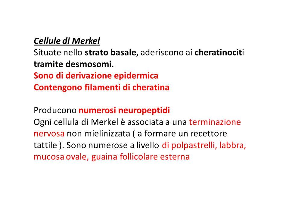 Cellule di Merkel Situate nello strato basale, aderiscono ai cheratinociti tramite desmosomi.