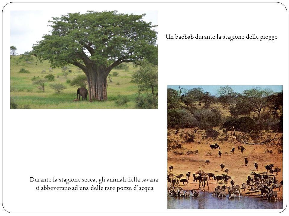 Un baobab durante la stagione delle piogge