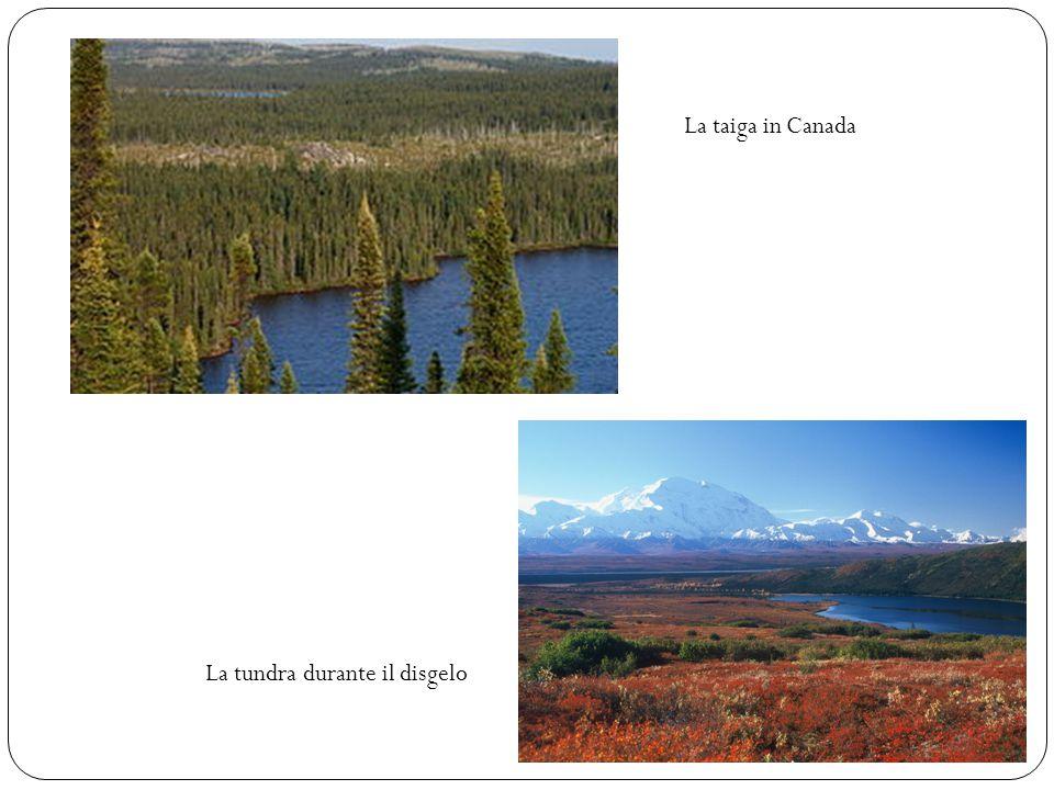 La taiga in Canada La tundra durante il disgelo